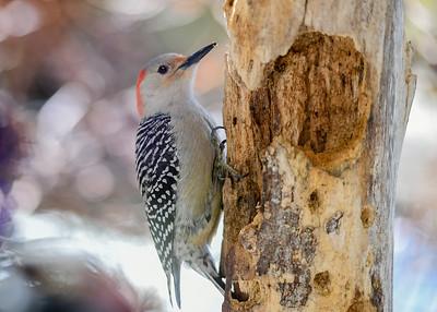 Female Red-bellied Woodpecker on Suet Log - March 22, 2020