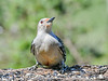 """<div class=""""jaDesc""""> <h4>Female Red-bellied Woodpecker - Front View - May 15, 2021</h4> <p></p> </div>"""