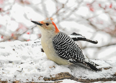 Female Red-bellied Woodpecker Looking Up - January 18, 2020