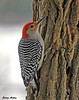 "<div class=""jaDesc""> <h4> Male Red-bellied WP on Suet Log - December 25, 2010</h4> <p> I put up a new suet log for the woodpeckers.  It is a section of locust tree with holes drilled in the sides to hold suet.  It was an instant magnet for this male Red-bellied Woodpecker, as well as the Hairy and Downy Woodpeckers.</p> </div>"