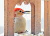 """<div class=""""jaDesc""""> <h4>Male Red-bellied Woodpecker with Peanut - March 7, 2021</h4> <p>He posed nicely in the arch of the feeder as he grabbed a peanut.</p> </div>"""