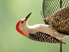 """<div class=""""jaDesc""""> <h4> Red-bellied Woodpecker Enjoying Sunflower Chips - May 24, 2012 </h4> <p>I had been hearing this male Red-bellied Woodpecker in the woods for months, but never saw him. Since I started putting out sunflower chips, he is visiting almost every day. He always announces his arrival with his unique call.</p> </div>"""