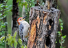 "<div class=""jaDesc""> <h4>Male Red-bellied Woodpecker at Suet Log - May 2, 2017</h4> <p>While I often hear this guy in the woods, I haven't seen him since May last year.</p> </div>"