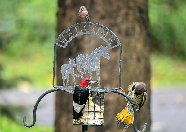 """<div class=""""jaDesc""""> <h4>Flicker Starts to Instigate - September 10, 2018 </h4> <p>The Flicker tries to maneuver around to the side the Woodpecker is on.  The Woodpecker does not like that idea.  Meanwhile Male House Finch arrives.</p> </div>"""