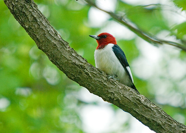 """<div class=""""jaDesc""""> <h4>Red-headed Woodpecker on Tree Branch - April 26, 2008 </h4> <p> This Red-headed Woodpecker was staking out his territory during mating season this past May.  Photo taken in Lancaster County, Pa.</p> </div>"""