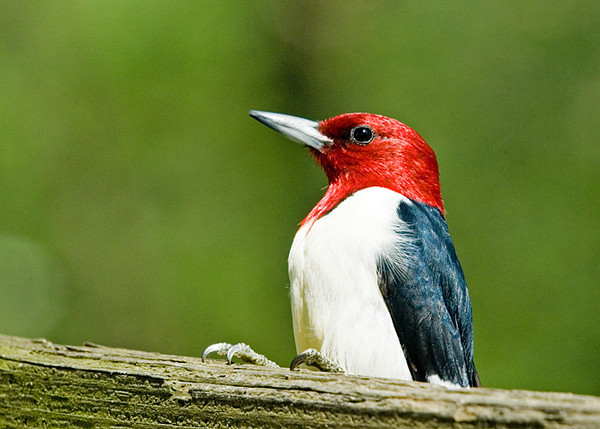 """<div class=""""jaDesc""""> <h4>Red-headed Woodpecker in Afternoon Sun - April 29, 2008 </h4> <p> Here is another close-up of a Red-headed Woodpecker from my trip to southern PA.  The afternoon light was at just the right angle.</p> </div>"""