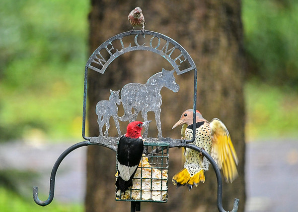 """<div class=""""jaDesc""""> <h4>Flicker Flashes Wings - September 10, 2018 </h4> <p>The Flicker flashed her wings to try to get the Woodpecker to leave.  Woodpecker will not budge.  Male House Finch observes the interaction from above.</p> </div>"""