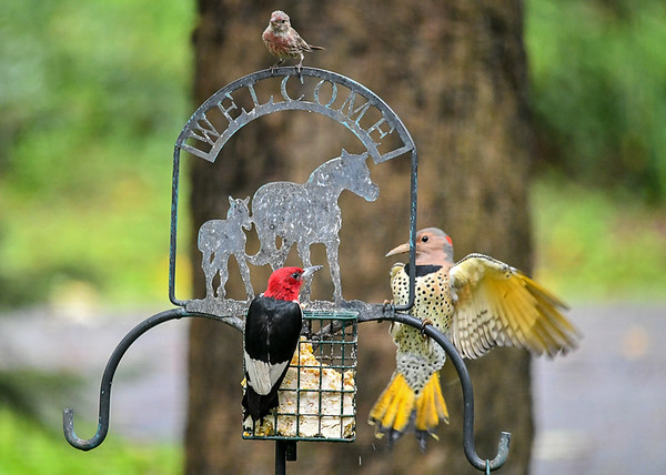 """<div class=""""jaDesc""""> <h4>Flicker Spreads Wings Wider - September 10, 2018 </h4> <p>The Flicker gets more aggressive by spreading her wings further.  Woodpecker still won't leave.  Flicker gives up and leaves.</p> </div>"""