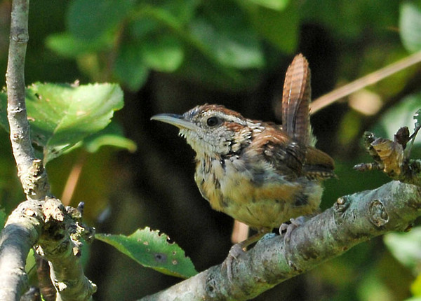"""<div class=""""jaDesc""""> <h4> Juvenile Carolina Wren in Thicket - September 18, 2011 </h4> <p> This juvenile Carolina Wren was chirping as it moved quickly through a dense thicket.  After about 5 minutes, she finally popped out for a quick photo.</p> </div>"""