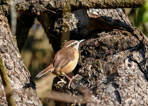 "<div class=""jaDesc""> <h4> Adult Carolina Wren on Tree Trunk - September 20, 2019 </h4> <p> This adult Carolina Wren popped out  of a dense bush into the morning sun.</p> </div>"