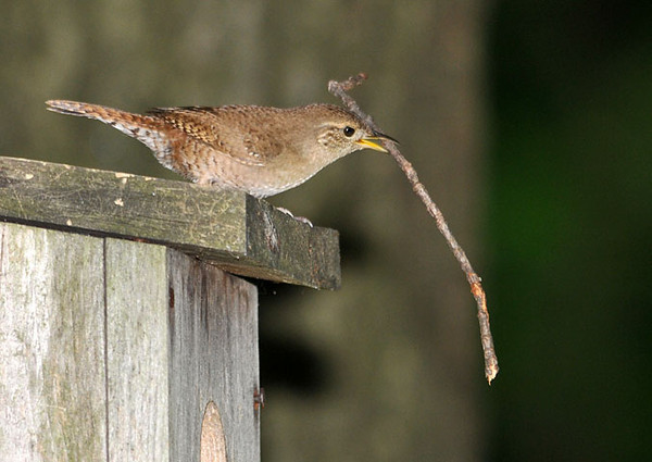 """<div class=""""jaDesc""""> <h4> Wren with Stick for Nest - June 20, 2010</h4> <p> This male House Wren started collecting sticks to fill a second nest box the day after the first clutch fledged.  It took him about a minute to figure out how to get the end of this long stick into the nest box hole.</p> </div>"""
