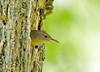 """<div class=""""jaDesc""""> <h4> Wren Peeking Out of Nest - June 3, 2008</h4> <p> While observing the Flicker nest hole, I noticed a House Wren was going back and forth to a tree nearby.  It turns out there is a Wren nest just to the left of the Flicker nest.  I&#39;ll be keeping an eye on both for baby photos.</p> </div>"""