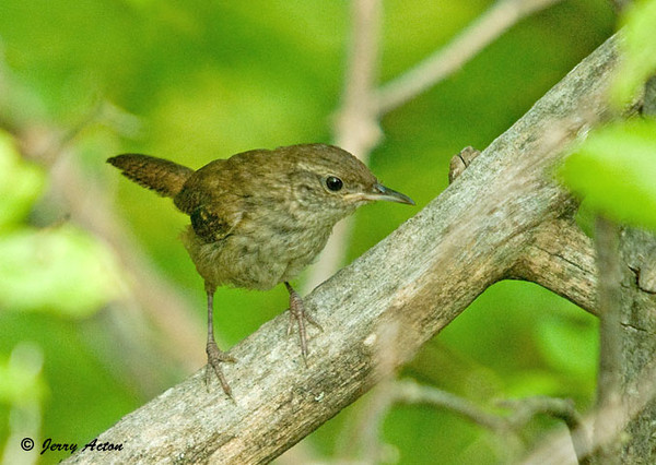 """<div class=""""jaDesc""""> <h4>House Wren in Woods - August 18, 2009 </h4> <p>After nesting season, the House Wren usually visits our yard and brings a juvenile along.  This year I had to go looking for her in the woods along our road.  I found her right where I have been hearing her chattery call.  No sign of a juvenile though.</p> </div>"""