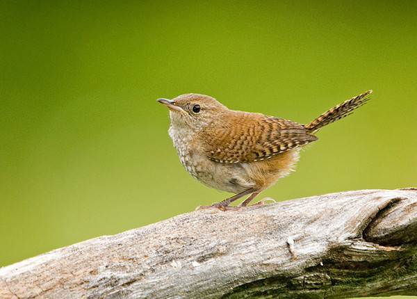 """<div class=""""jaDesc""""> <h4> House Wren on Perch - August 3, 2008 </h4> <p> The House Wren and a juvenile are coming in together. Both of them are pretty aggressive, chasing all the other song birds at the feeders.</p> </div>"""