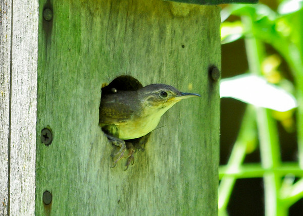 "<div class=""jaDesc""> <h4>House Wren Leaving Nest Box - July 8, 2014</h4> <p> Each time they brought food, they would spend several minutes in the nest box before departing.  They would always pause at the hole and look all around before heading off to find more food.</p> </div>"