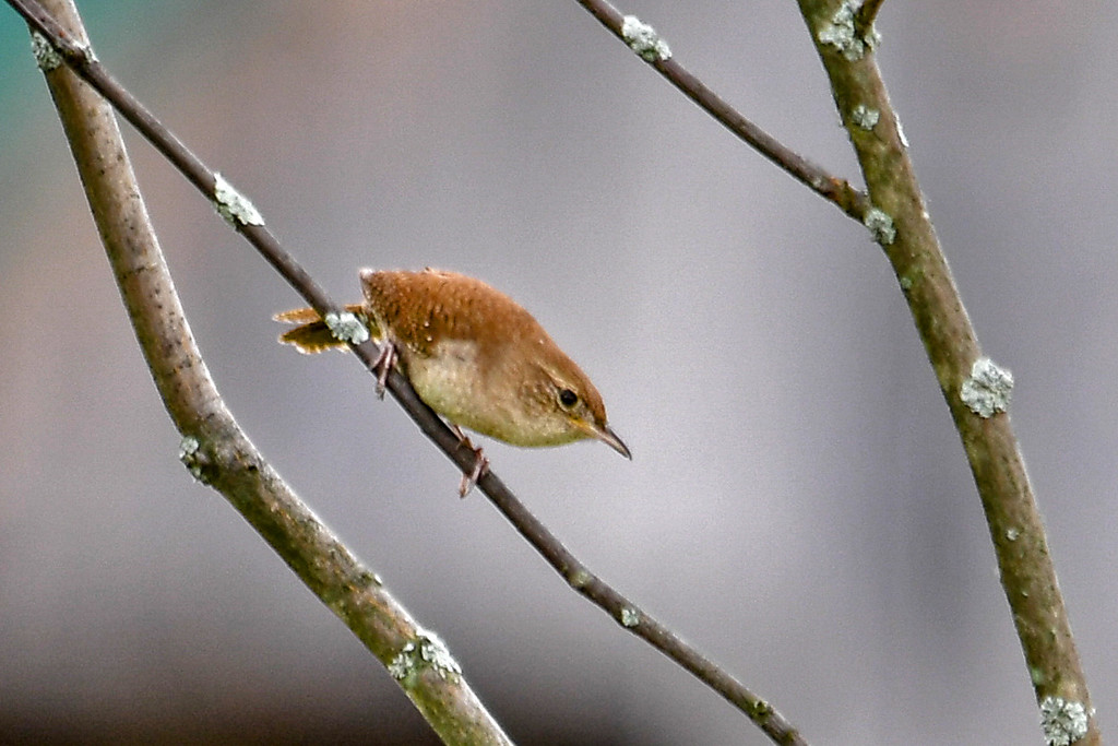 """<div class=""""jaDesc""""> <h4>House Wren Looking Down - June 15, 2017</h4> <p>He was looking down at a clump of grass below the tree.  When he flew down to it, the female darted out of the grass and the 2 of them whizzed by my head.</p> </div>"""