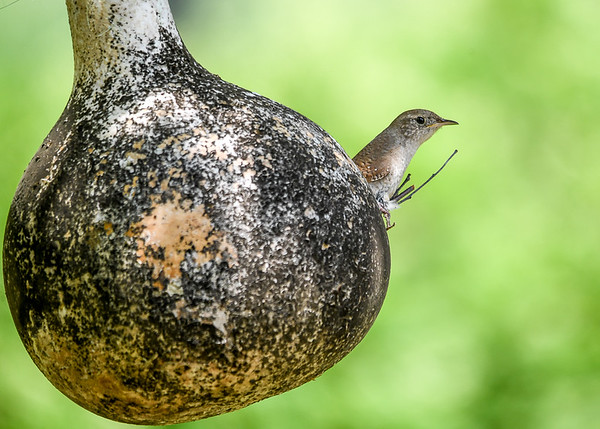 "<div class=""jaDesc""> <h4>House Wren in Nest Hole - July 15, 2017</h4> <p>This House Wren has been calling for a month to attract a mate.  So far no luck.  He has the nest all prepared inside this gourd in our back yard.  Poor guy.</p> </div>"