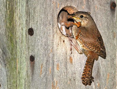 "<div class=""jaDesc""> <h4> Male Wren at Nest Hole - June 20, 2010 </h4> <p> This male House Wren was busy gathering small sticks to put in this chosen nest box.  He did not seem to be bothered by my presence about 20 feet away.</p> </div>"