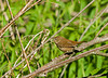 """<div class=""""jaDesc""""> <h4> House Wren in Brush - June 2, 2008 </h4> <p> While I was waiting for a Flicker to return to its nest, I saw this House Wren moving about in the brush.</p> </div>"""