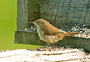 "<div class=""jaDesc""> <h4> House Wren at Feeder - July 17, 2009</h4> <p> This is our first House Wren visit of the year.  He chases all the other birds off the feeder when he is in.</p> </div>"