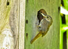 "<div class=""jaDesc""> <h4>House Wren Arriving with Food- July 8, 2014</h4> <p> I enjoyed watching a pair of House Wren parents coming and going from the nest box.  They were bringing bugs every 5 minutes.</p> </div>"