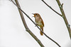 "<div class=""jaDesc""> <h4>House Wren Doing Territory Call - June 15, 2017</h4> <p>This House Wren starts calling loudly outside our bedroom window at 5AM and goes on most of the day.  Ugh.  I can't figure out where the nest is.</p> </div>"