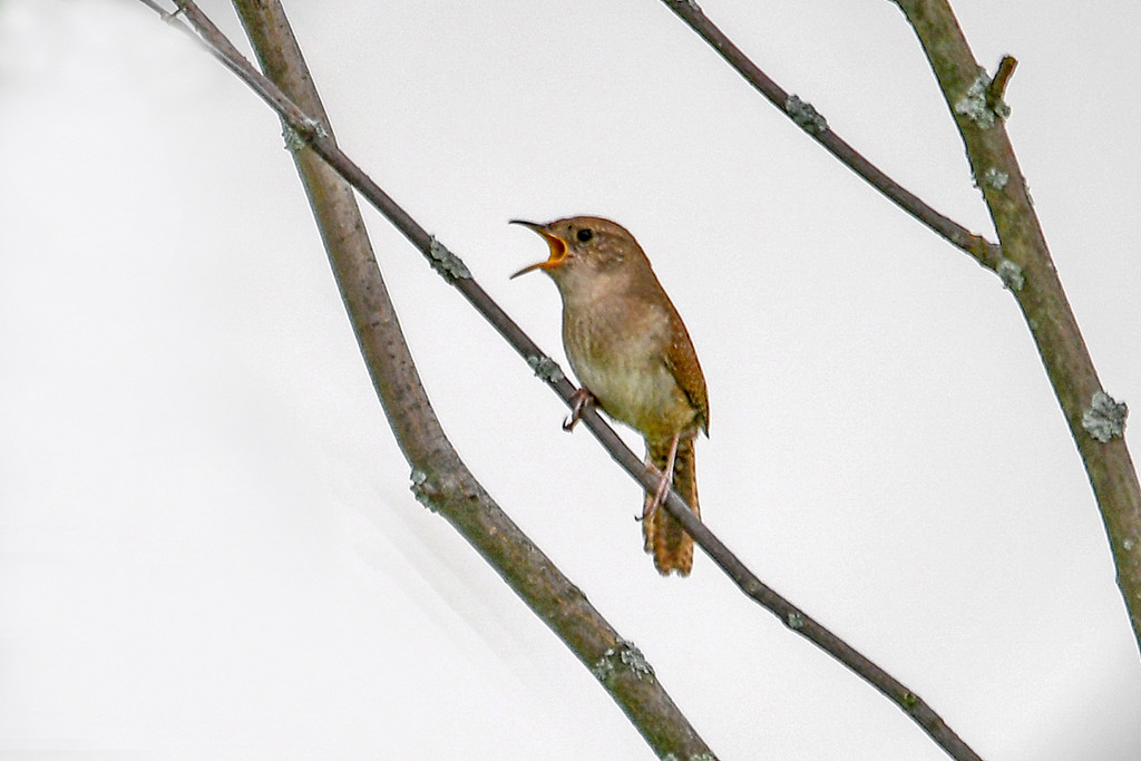 """<div class=""""jaDesc""""> <h4>House Wren Doing Territory Call - June 15, 2017</h4> <p>This House Wren starts calling loudly outside our bedroom window at 5AM and goes on most of the day.  Ugh.  I can't figure out where the nest is.</p> </div>"""