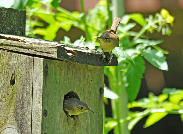 """<div class=""""jaDesc""""> <h4> House Wren Parents Feeding Chicks - July 8, 2014 </h4> <p>The male House Wren is arriving with food as the female is leaving the nest.  She brought in a big winged bug.</p> </div>"""