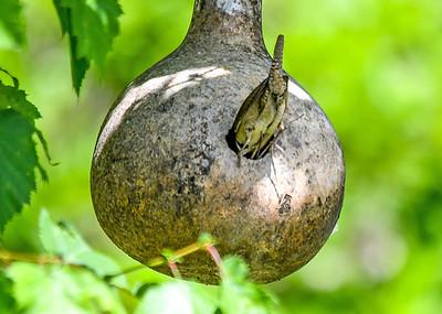 House Wren Enters Nest - June 15, 2018