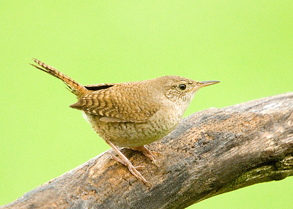 "<div class=""jaDesc""> <h4> House Wren Visits Yard - July 3, 2008 </h4> <p> A House Wren has visited our yard two days in a row now.  My guess is that their chicks have left the nest in the woods down the road, so they are free to move about more.</p> </div>"