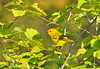 "<div class=""jaDesc""> <h4> Female Yellow Warbler Among Foliage - May 16, 2010</h4> <p> This female Yellow Warbler was moving very quickly through hillside trees.  She blended in quite well with the yellowish-green leaves.  A shot from back in mid-May.</p> </div>"