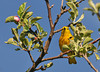 "<div class=""jaDesc""> <h4> Male Yellow Warbler - Front View - May 16, 2010</h4> <p> When the male Yellow Warbler perches face-on, you can see the beautiful reddish-brown stripes on his breast.  Photo taken in mid-May in an old apple orchard.</p> </div>"