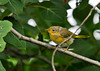 "<div class=""jaDesc""> <h4>Fledgling Yellow Warbler Looking to Dad for Food - July 20, 2014</h4> <p> This fledgling Yellow Warbler was following his Dad around through the roadside thickets.  His breakfast consisted of about 3 different kinds of bugs. </p> </div>"