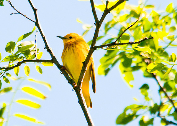 """<div class=""""jaDesc""""> <h4> Male Yellow Warbler High Up in Tree - June 4, 2012</h4> <p> This male Yellow Warbler has a mate.  Their nest is in a multi-flora rose bush near this tree.   He is guarding his territory against the other pair of Yellow Warblers just down the road.</p> </div>"""