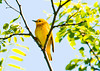 "<div class=""jaDesc""> <h4> Male Yellow Warbler High Up in Tree - June 4, 2012</h4> <p> This male Yellow Warbler has a mate.  Their nest is in a multi-flora rose bush near this tree.   He is guarding his territory against the other pair of Yellow Warblers just down the road.</p> </div>"