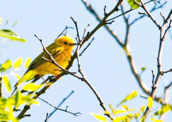 "<div class=""jaDesc""> <h4> Male Yellow Warbler - Side View - June 4, 2012</h4> <p> </p> </div>"
