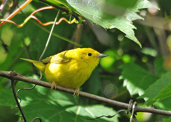 """<div class=""""jaDesc""""> <h4>Juvenile Male Yellow Warbler - July 1, 2010</h4> <p> Here is the fourth bird in the Yellow Warbler family - the juvenile male.  He looks just like Dad, but with less prominent streaking on his breast.  He was venturing out on his own to find bugs.</p> </div>"""