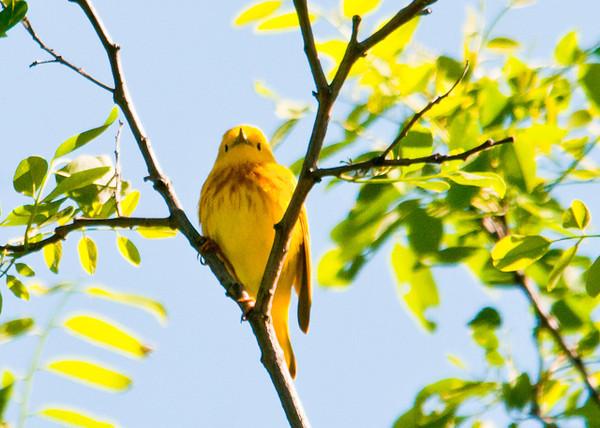"<div class=""jaDesc""> <h4> Male Yellow Warbler - Front View - June 4, 2012</h4> <p> </p> </div>"
