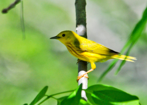 """<div class=""""jaDesc""""> <h4>Male Yellow Warbler in Shadows - June 4, 2014</h4> <p> This is the male Yellow Warbler that was trying to chase the Chestnut-sided Warbler out of """"his"""" territory.  He kept staying more in the shadows. </p> </div>"""