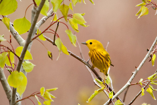"""<div class=""""jaDesc""""> <h4> Male Yellow Warbler in a Sapling - May 2, 2012</h4> <p> This male Yellow Warbler darted into the roadside ditch for a drink as I was driving along the road.  I stopped and got out of my truck quietly, got my camera and tripod out of the backseat and set up in the middle of the road.  I guessed that he might move to the sapling next to the ditch when he was done drinking, I guessed right.</p> </div>"""