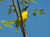 """<div class=""""jaDesc""""> <h4> Yellow Warbler in Poplar Tree - May 19, 2009</h4> <p> This male yellow warbler was about 40 feet up&nbsp;in a tree and was mostly hidden in the leaves.&nbsp; He looked like he was feeding on caterpillars. I saw the female too, but she didn&#39;t give me an&nbsp;opportunity for a photo.</p> </div>"""