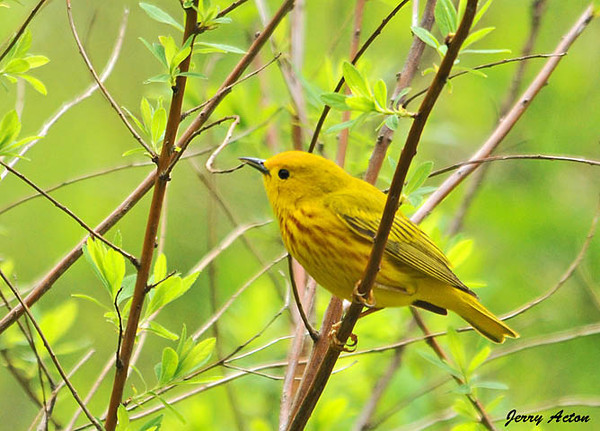 "<div class=""jaDesc""> <h4> Yellow Warbler in Bush - May 7, 2010</h4> <p> Three Yellow Warblers were moving around from bush to bush in a field full of low dense shrubs.&nbsp; After watching them for about 15 minutes, I noticed a repetitive location sequence.&nbsp; I was able to get in close to one particular bush and catch this guy when he arrived.</p> </div>"