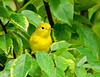 """<div class=""""jaDesc""""> <h4> Female Yellow Warbler Among Leaves - July 24, 2008</h4> <p> I was lucky to catch this female yellow warbler. She surprised me by coming in along with a dozen goldfinches and stayed for only 5 seconds. I managed to get one shot.</p> </div>"""