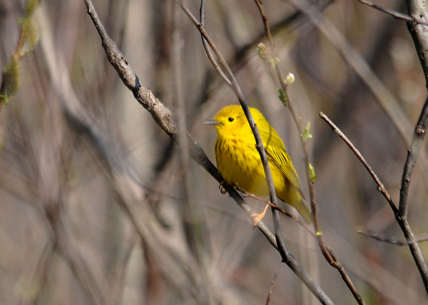 "<div class=""jaDesc""> <h4>Male Yellow Warbler in Bush - May 8, 2016</h4> <p>I had about a second to get this shot as the Yellow Warbler stopped briefly in a bush.   The afternoon sun was highlighting his beautiful markings.</p> </div>"