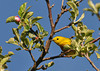 "<div class=""jaDesc""> <h4> Male Yellow Warbler - Side View - May 16, 2010</h4> <p> This male Yellow Warbler was collecting bugs early in the morning from underneath apple tree leaves.  This photo was taken back in mid-May when the apple trees were first starting to bloom.</p> </div>"