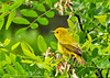 "<div class=""jaDesc""> <h4>Female Yellow Warbler Looking for Bugs - June 15, 2014</h4> <p> Early in the morning, the warblers are totally focused on feeding on the bugs that have not yet taken flight for the day.  This female Yellow Warbler was following her mate through the branches of a locust tree.</p> </div>"