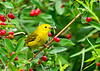 "<div class=""jaDesc""> <h4>Male Yellow Warbler with Bug - July 20, 2014</h4> <p> Dad  Yellow Warbler was looking over toward the fledgling who was cheeping loudly while waiting to be fed.  </p> </div>"