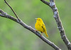 "<div class=""jaDesc""> <h4>Male Yellow Warbler Resting - May 8, 2018</h4> <p>He actually stayed on this branch for about a minute; unusual for these active little warblers.</p> </div>"
