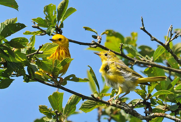 """<div class=""""jaDesc""""> <h4> Juvenile Female Yellow Warbler with Dad - July 1, 2010</h4> <p> The adult male Yellow Warbler was showing this juvenile how to look for bugs.  He wasn't feeding her anymore, just showing her how to find them on her own.</p> </div>"""