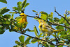 "<div class=""jaDesc""> <h4> Juvenile Female Yellow Warbler with Dad - July 1, 2010</h4> <p> The adult male Yellow Warbler was showing this juvenile how to look for bugs.  He wasn't feeding her anymore, just showing her how to find them on her own.</p> </div>"